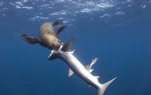 seal-eats-shark