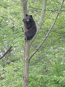 bear-scared